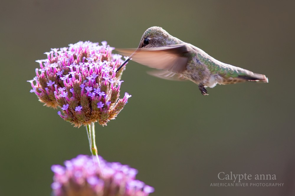 Female Anna's Hummingbird feeding on verbena