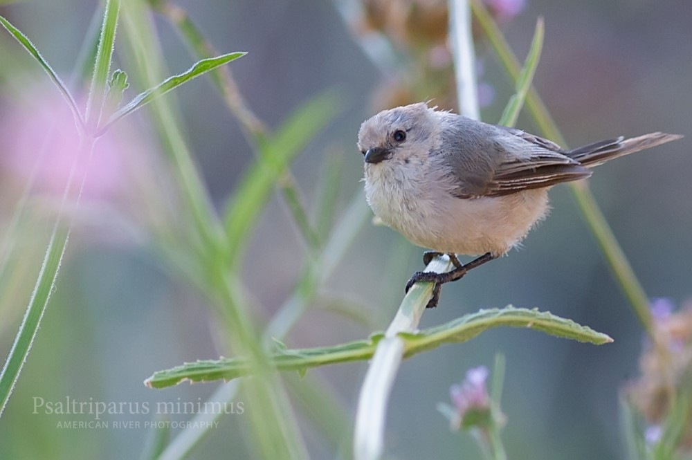 One of my favorite birds, a tiny Bushtit.