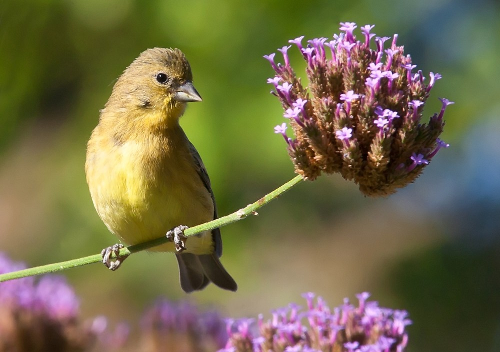 Gold Finch on Verbena