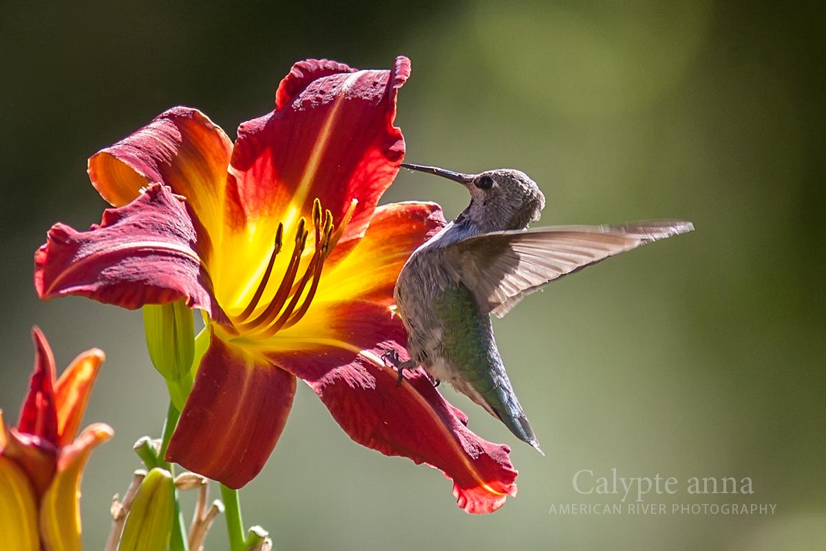 Calypte anna on Lily