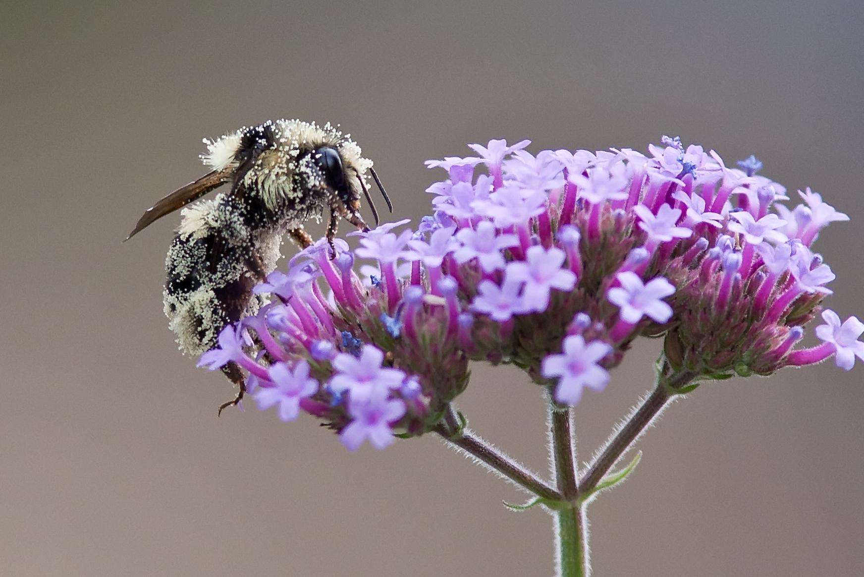 Bee & Verbena