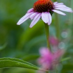 Cone Flower - Vertical