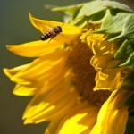 Polination - Sun Flower