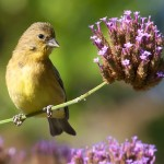Gold Finch on Verbena
