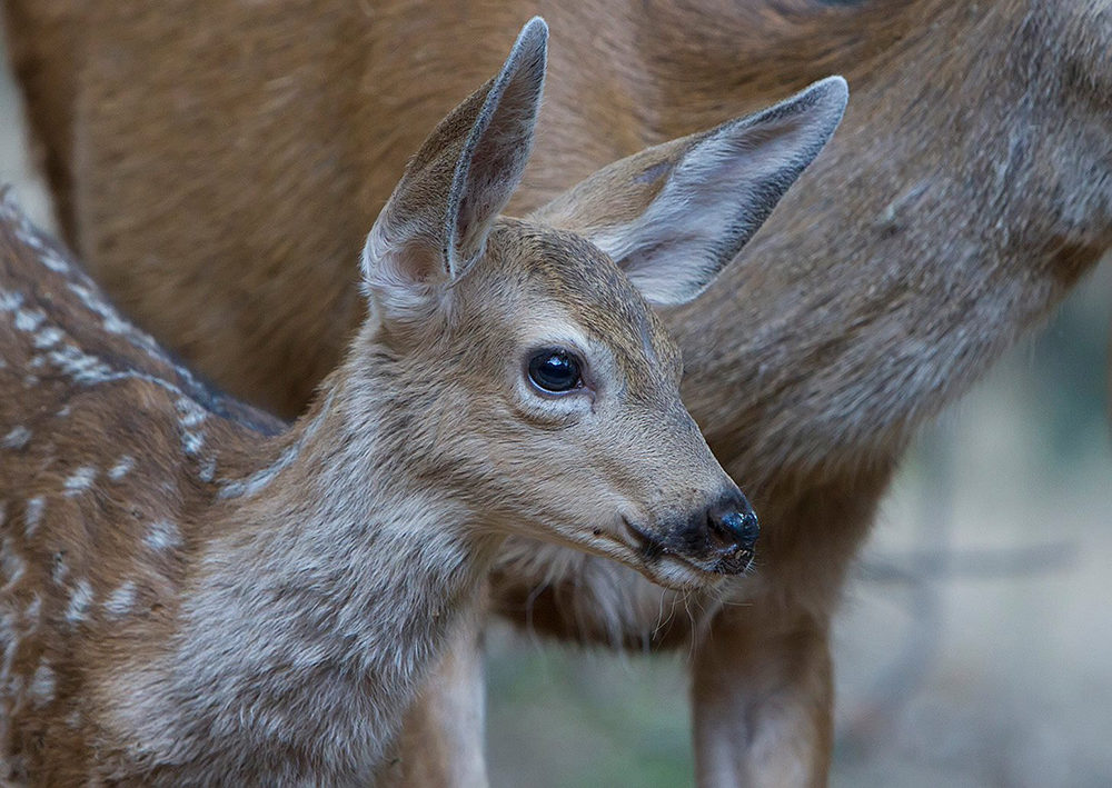 Black-tailed Fawn